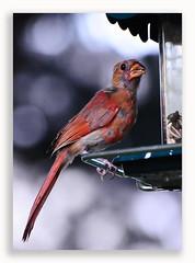 0720_2687 (Dennis J2007) Tags: bird birds cardinal