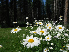 Wilderness Wildflowers (Mr. Happy Face - Peace :)) Tags: hinking canadaparks albertaboud cans2s floral nature wilderness