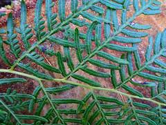 Fern filigree (jo.elphick) Tags: burrewarra point nsw australia bushland fernleaves treestump green brown
