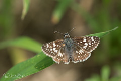 Common Checkered Skipper (dbifulco) Tags: commoncheckeredskipper kvsp kittatinnyvalleystatepark pyrguscomunis butterfly insect macro nature newjersey wildlife