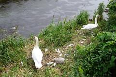 Swans and goslings (koukat) Tags: scotland edinburgh uk drive water leith walkway river path walk