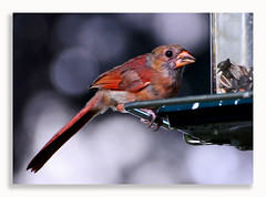 0720_2685 (Dennis J2007) Tags: bird birds cardinal