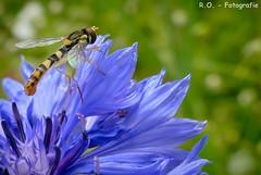 Natur / Nature (R.O. - Fotografie) Tags: natur nature blume flower bokeh insekt insect nahaufnahme closeup close up makro macro grün green blau blue panasonic lumix dmcfz1000 dmc fz1000 fz 1000 nieheim rofotografie