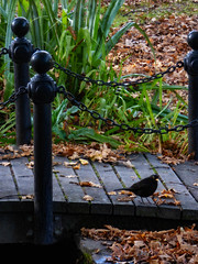 The Blackbird on the Black Bridge (Steve Taylor (Photography)) Tags: blackbird bridge bird bollard railing black brown green newzealand nz southisland canterbury christchurch leaves reeds edmondsfactorygarden edmonds edmondsfactorygardens factorygarden ferryroad