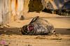Kaimana 16 (William Parenio) Tags: babymonkseal kaimanabeach monkseal monksealpup monksealrh58 rockyandpup p03 kaimana rj58