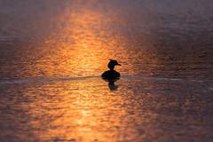 GC Grebe at dawn... (petegatehouse) Tags: silhouette lake dawn greatcrestedgrebe goldensunrise swim ripples reflection bird