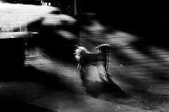 Daydream (Takako Kitamura) Tags: blackwhite abstract fluffy dog
