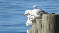 Sunning Gulls (Theen ...) Tags: beach beaks blue cornelianbay feathers hobart lumix posts preening red sea seagulls sunning theen water white wooden