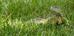Jul 24 2017    AQ6I8220 (Lake Worth) Tags: animal animals everglades southflorida florida nature outdoor outdoors wetlands wildlife