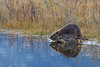 Beaver Reflection (Amy Hudechek Photography) Tags: beaverreflection4 beaver reflection stream dam nature wildlife build work gtnp grandteton national park amyhudechek
