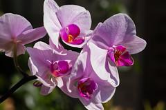 Orchids / Orchidées (Denis Bourez) Tags: olympus omd em5 macro flower orchid orchidée villeparisis îledefrance france fr