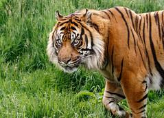 Nias Looking (Ukfalc) Tags: wildlifeheritagefoundation cat bigcat mammal animal sumatrantiger pantheratigrissumatrae whf nias thebigcatsanctuary headcorn smarden kent canon 7dii 70300l