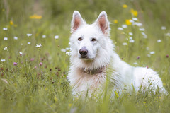 Willy, the poser (jahbalaha) Tags: ifttt 500px field portrait nature outside dog puppy summer grass animal cute white looking pet wildlife fur outdoors wolf shepherd mammal hayfield canine no person