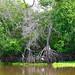 Conservar los manglares para el desarrollo sostenible