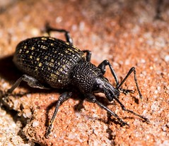Jump 2 the  Beet - Vine Weevil (隠された) Tags: oedemera nobilis coleotteri coleoptera coleottero beetle beetles insect insetti insetto insects insectes insectos bug bugs macro microfotografía macrophotographie macrophotography macrofotografia micro extension tube