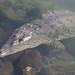 Crocodylus acutus IMG_5683