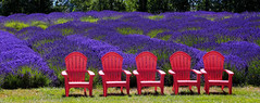 Red and Purple (louelke - will be gone for 3 weeks) Tags: lavender fields sequim washington olympicpeninsula red chairs colorful purple
