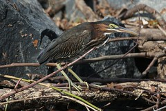 Green Heron Camouflage (drbeanes) Tags: green heron butorides virescens mbpready