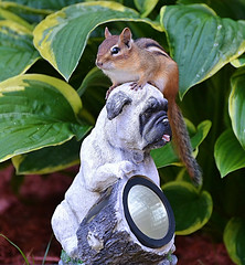 This Chipmunk Knows If You're Going To Move Into Tina's Garden, You've Got To Love Pugs! (DaPuglet) Tags: chipmunk animal animals chipmunks garden statue pug pugs pugstatue nature wildlife mammal sunrays5 coth5