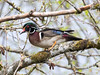 20170417 De Boville Slough 055A2504 (ianburgess1) Tags: aixsponsa birds britishcolumbia debovilleslough familyanatidae metrovancouver places woodduck