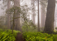 The Young and the Old (optimalfocusphotography) Tags: northerncalifornia california usa landscape nature nationalpark prairiecreekredwoodsstatepark trees fog redwoodnationalpark path woodland mist