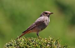 Hausrotschwanz (Phoenicurus ochruros) (Hugo von Schreck) Tags: hugovonschreck vogel bird ngc hausrotschwanz phoenicurusochruros canoneos5dsr tamron28300mmf3563divcpzda010 onlythebestofnature