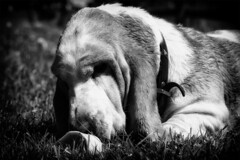 Stolen Bone (WibbleFishBanana) Tags: hund hound dog basset mansbestfriend bone