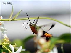 Bee Hawk Moth - Cephododes kingii - Peregian, Qld. (grayham3) Tags: australian australia australianwildlife bugs bug bee canon hawkmoth insects insect macro moth nature noosa nativebee peregian queensland qld seq sequeensland wildlife wildscape