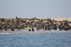 Walvis Bay seal colony (cathm2) Tags: africa namibia walvisbay travel sea cruise boat seal colony wildlife