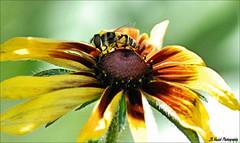 """ What Big Eyes You Have !! "" (John Neziol) Tags: jrneziolphotography nikon nikondslr nikoncamera nikond80 nature wildlife wings animal outdoor brantford macro portrait blackeyedsusanbronzestrain bug yellow yellowjacket bee sting bright garden flower pollen"