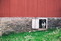Goat Door (matthewkaz) Tags: goat barn door redbarn animal dandelions farm springdale springdalefarm spencerport ny newyork 2017 red green