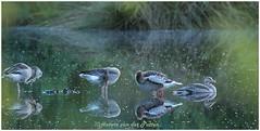 evening bath (HP030022) (Hetwie) Tags: peel schemer sunset meerbaansblaak nature natuur geese ganzen watervogel twilight zonsondergang goose grootepeel avond evening ospel limburg nederland nl