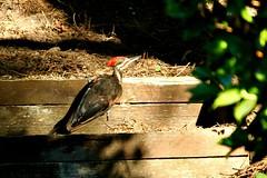199/365: A Woodpecker in the Garden