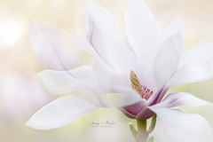 Purity (Jacky Parker Flower Photography) Tags: magnolia flower white springtime springflowering spring closeup macrophotography horizontalformat landscapeorientation floralart fineart freshness floatypetals highkey selectivefocus imagefocustechnique beautyinnature flowerphotography