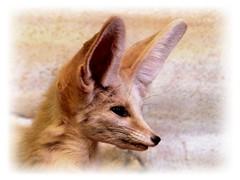 Fennec (myri_bonnie) Tags: fennec zoo
