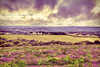 Heather on the Heath 202/365 (rmrayner) Tags: heather ontheheath littlehaldon hdr landscape crossprocessing purple dartmoor rain clouds devon countryside stormy rural 202365 365project 365the2017edition
