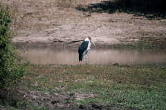 One of the ugly five (knipslog.de) Tags: big5 bigfive ugly marabou stork maraboustork botswana botsuana safari adventure wildlife wild animals selfdrivesafari