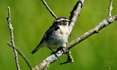 Whinchat (Jurek.P) Tags: pokląskwa whinchat birds bird nature wildnature mazury masuria poland polska summer lato jurekp sonya77