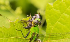 2U7A3159 (rpealit) Tags: scenery wildlife nature kittatinny valley state park female common pondhawk eating robber fly dragonfly
