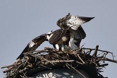 132 (GJSmith Photography) Tags: osprey gjsmith birds nikon d750 200m 500m clutch nest birding 500mm uper telephoto
