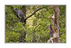 Yellow-Crowned Night Heron and Green Heron Resting Together in Seclusion (stevebfotos) Tags: select greenheron blueheron shorebirds birds lewes delaware canarycreek greatmarsh