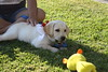 Gala Going After her Duck - 7-4-2017 (kimstrezz) Tags: 2017 fourthofjuly july4th blockparty 4thofjuly fourthofjuly2017 july4th2017 gala dog puppy servicedog goldenretriever