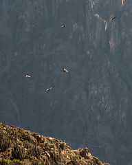 Colca Canyon Condors, Peru (MiguelVP) Tags: arequipa peru condor colcacanyon andes bird vulture
