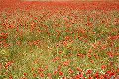 Tappeto rosso - Red carpet. (sinetempore) Tags: papaveri poppies campodipapaveri poppyfield rosso red francia france altaprovenza highprovence tappetorosso redcarpet