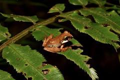 Frog ID? (mitchberk) Tags: frog amphibian madagascar