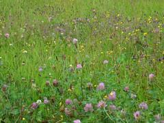 Monet's Green (Ed Sax) Tags: grün wiese edsax blüte sommer klee gras finkenwerder elbe hamburg