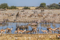Where's *Wally? - African Style (gecko47) Tags: waterhole etoshanationalpark namibia animals mammals drinking springbok zebra giraffe oryx sharing