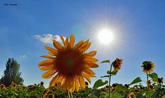 Tanta bellezza esce dai miei occhi...2 (michelecipriotti) Tags: bologna emiliaromagna campo girasoli colori panorama paesaggio alberi sole cielo azzurro campagna