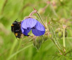 Bumblebee (Lancashire Lass :) :) :)) Tags: bumblebee nature summer july countryside riverside geramium meadowcranesbill grass bokeh