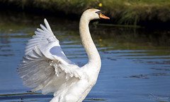 Wings (Paula Darwinkel) Tags: swan muteswan wings bird animal wildlife nature water lake